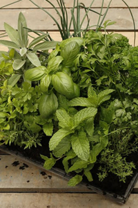 Living Herb - 6 Plant Mix