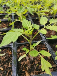 Tomato Seedling - Gold Nugget