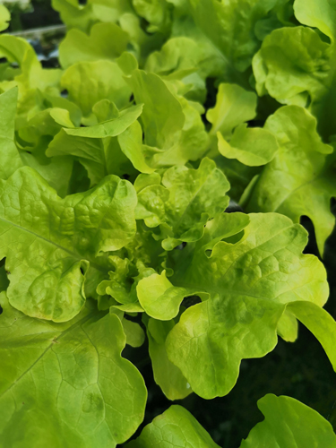Lettuce Seedling - Green Oak