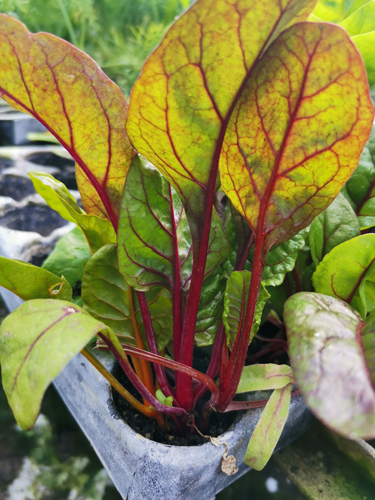 Swiss Chard Seedling