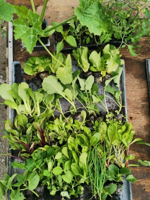 Seasonal Veggie Seedling Box - Large